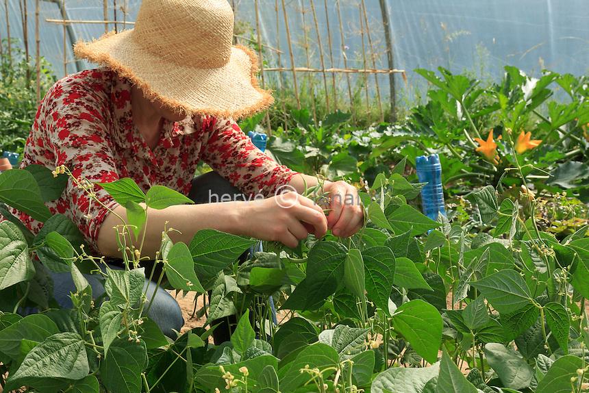 Cueillette de haricots verts nains 'Oxinel' cuiltivés sous tunelle dans un potager amateur (model & property release OK) // Piking of green beans 'Oxinel' under a greenhouse.