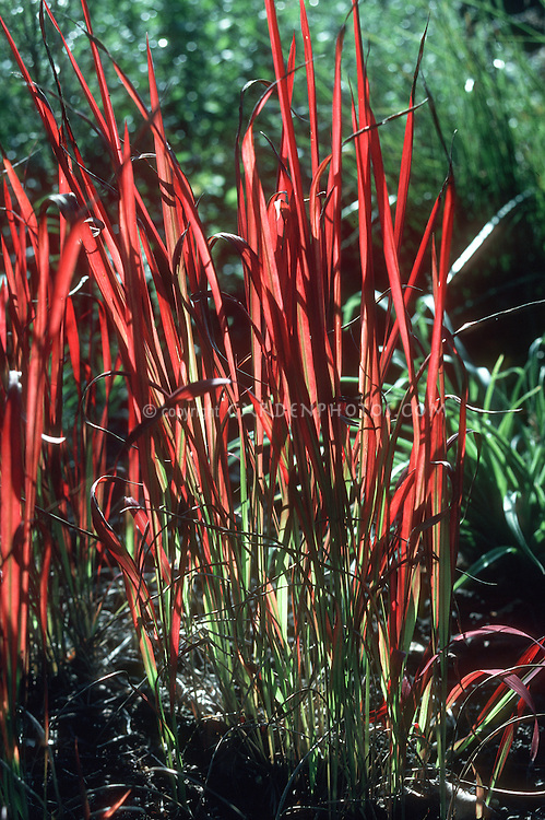 Red ornamental grass for Perennial grasses red