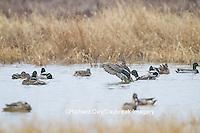 00729-02206 Mallards (Anas platyrhynchos) in wetland in winter, Marion Co. IL