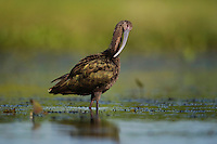 White-faced Ibis (Plegadis chihi), adult preening, Sinton, Corpus Christi, Coastal Bend, Texas, USA