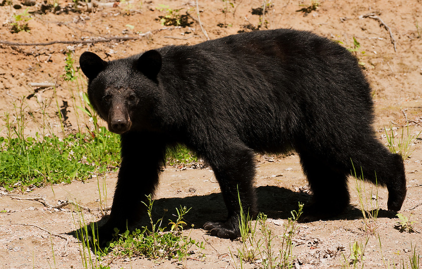 A young black bear (Ursus americanus) walking along a sandy cut in northern Ontario, Canada.