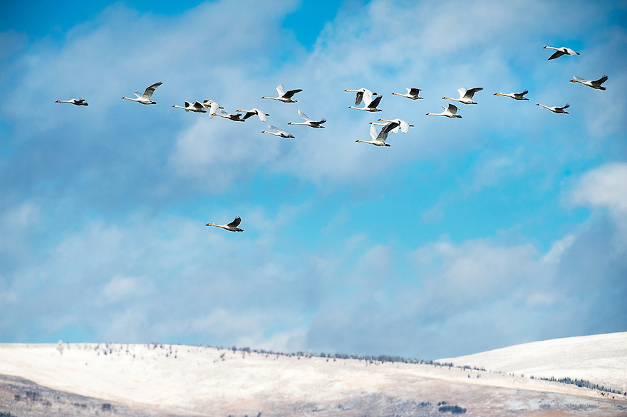 Trumpeter swans fly above Red Rock Lakes National Wildlife Refuge in the Centennial Valley of western Montana.