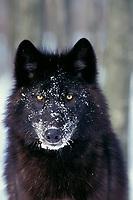 Black Gray Wolf in winter.  Upper Great Lakes region.