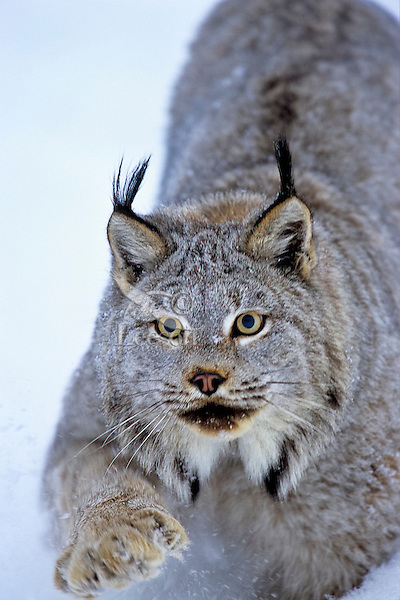 Canadian Lynx (Lynx canadensis) walking through deep powder snow.
