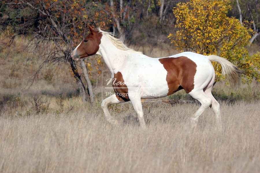Indian horse running in South Dakota