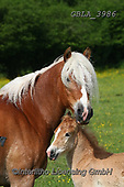 Bob, ANIMALS, REALISTISCHE TIERE, ANIMALES REALISTICOS, horses, photos+++++,GBLA3986,#a#, EVERYDAY