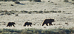 A grizzly bear sow and her two cubs walk in a frost-covered meadow in Yellowstone National Park. The sow is on the hunt for newly born elk calves, June 4, 2011. Photo by Gus Curtis.