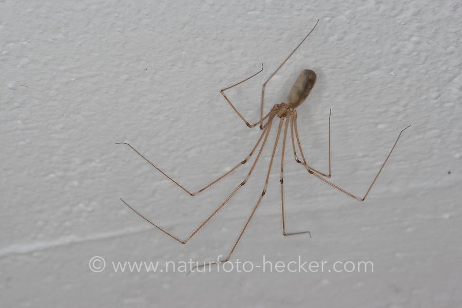 Zitterspinne, Zitter-Spinne, an der Zimmerdecke eines Wohnhauses, Pholcus phalangioides, long-bodied cellar spider, longbodied cellar spider