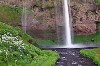 Cow Parsnip and Seljalandsfoss Waterfall, Iceland