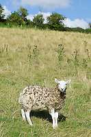 Sheep with woollen fleece matted with seeds and burrs in meadow in The Cotswolds, Oxfordshire, UK