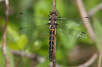 Uhler's Sundragon (Helocordulia uhleri) Dragonfly - Female, Cranberry Lake Preserve, Westchester County, New York