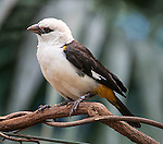 A white-headed buffalo weaver (Dinemellia dinemelli), a bird native to east Africa, here photographed at the San Diego Safari Park