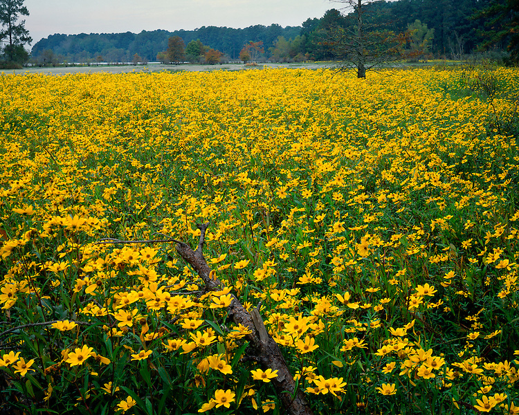 Field of Marigolds (Bidens sp.) in a swamp; Martin Dies Jr. State Park, TX