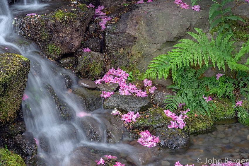 ORPTC_D121 - USA, Oregon, Portland, Crystal Springs Rhododendron Garden, Small waterfall with fallen rhododendron blossoms and fern fronds.