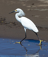 Snowy egrets are just one of many herons and wading birds found near the Rio Tarcoles.