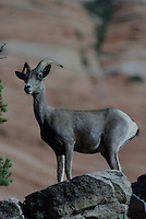 Desert Bighorn Sheep Ewe on a rock ridge in southern Utah's,Zion National Park 0n a summer day.