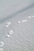 A person's footprints in freshly fallen snow. Located in a New England forest in New Hampshire USA