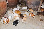 Guinea pigs in black, white, tan and brown colors used as pets and food run freely on floor in Peruvian house