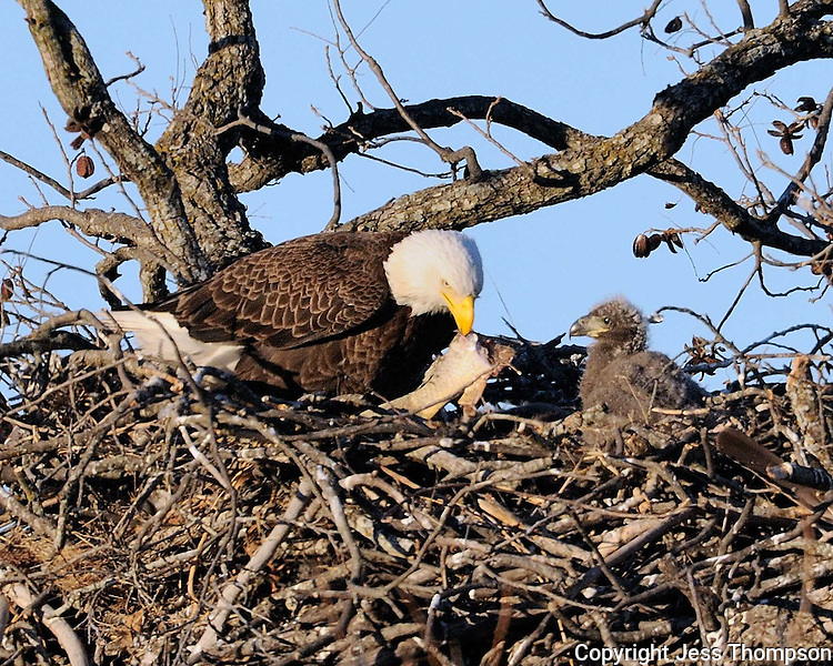 Adult bald eagle from the Llano, TX nest has fish to feed the eaglet.