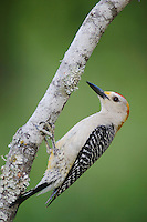 Golden-fronted Woodpecker, Melanerpes aurifrons, male, Willacy County, Rio Grande Valley, Texas, USA, June 2006