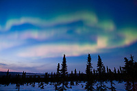 Aurora borealis over Spruce trees in the White Mountains National Recreation Area, Interior, Alaska.