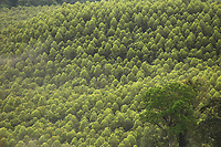 Floresta de Eucalipto,  gênero de arbustos ou árvores de grande porte, da família das mirtáceas, usado  para plantio de extensas áreas de espécie para posterior produção de de papel e celulose  (grupo Orsa).<br />A fábrica da Jarí em local próximo,  onde é beneficiada a madeira, foi construída em cima de uma balsa e trazida por empurradores do Japão no final da década de 70 e instalada as margens do rio Jarí, fronteira do Pará com o Amapá.<br />Almeirim, Pará, Brasil.<br />Foto Paulo Santos/Interfoto<br />03/2005.