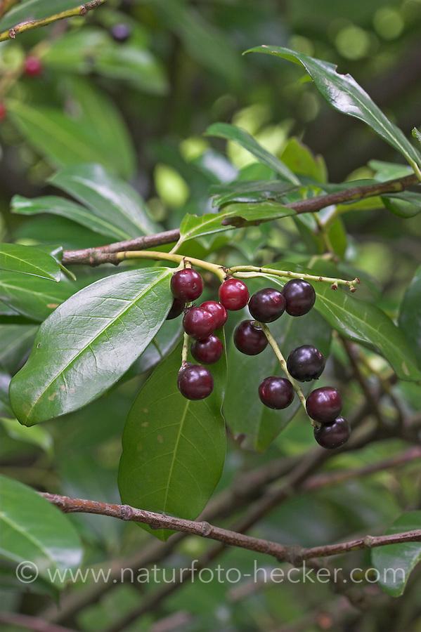 Kirschlorbeer, Lorbeerkirsche, Kirsch-Lorbeer, Lorbeer-Kirsche, Früchte, Prunus laurocerasus, Cherry Laurel, Laurier-amande, Laurier-cerise