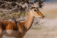 Africa, Zambia, South Luangwa National Park,   Red-billed oxpecker stand on a female impala