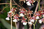 What these small orchids lack in size they make up for in number of blossoms on a spike.