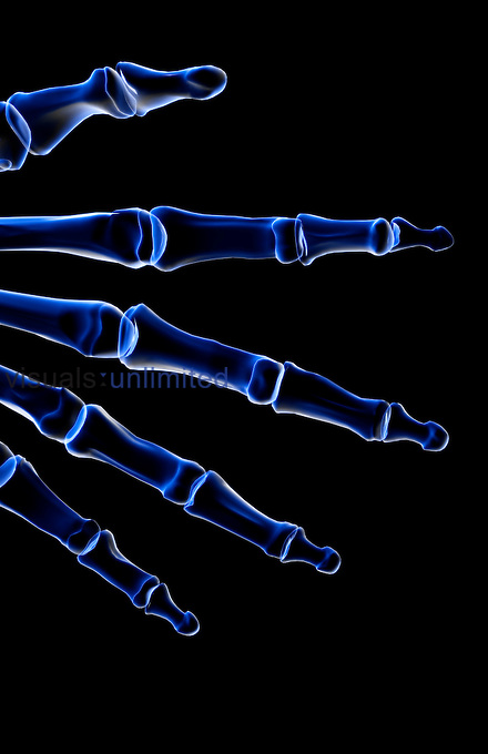 An anterior view of the bones of the fingers of the left hand. Royalty Free