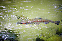 Large Rainbow Trout in pond at Bonniville Fish Hatchery. Oregon
