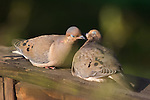 Amourous Morning Doves kissing.