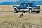A pronghorn buck.  A Pronghorn buck attempts to avoide traffic while crossing a highway during migration. Thousands of animals are killed by traffic throughout the west.