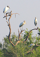 Wood storks in roosting tree