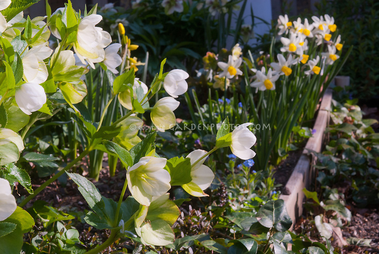 Helleborus hybridus white hellebores in bloom with Narcissus daffodils in spring