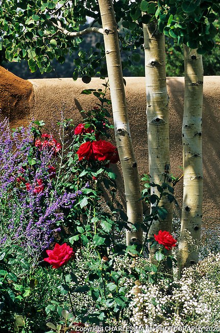 The gardens of Santa Fe,New Mexico, offer a constant suppply of delightful surprises and artful delights. Painter James Havard leaves an artistic touch wherever he gardens  as ni this whimsical combo of roses and aspen with  baby's brath.