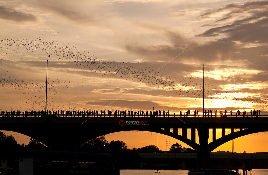 Each spring, about 750,000 pregnant bats make their nests in the expansion joints under the Ann W. Richards Congress Avenue bridge in Austin, TX. By August, having had their young, the colony swells to about 1.5 million