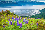 Nootka Lupine blooming at Bird Ridge. Turnagain Arm of Cook Inlet is in the background. Chugach State Park, Southcentral Alaska, Summer.