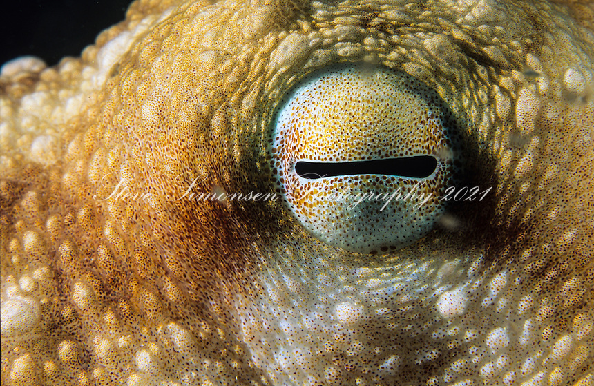Octopus eye<br />