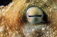 Octopus eye<br /> close up<br /> Virgin Islands