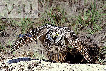 Burrowing Owl displaying at the nest site