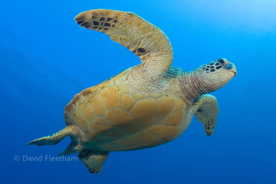 Green sea turtle, Chelonia mydas, an endangered species.  Hawaii.