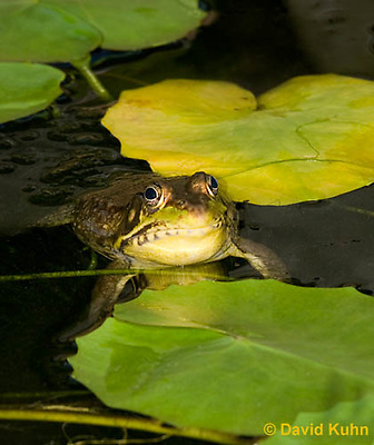 0612-0903  Northern Green Frog in Pond, Lithobates clamitans, formerly Rana clamitans  © David Kuhn/Dwight Kuhn Photography