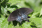 spicebush swallowtail butterfly, Papilio troilus