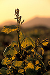 Grape vines at sunrise in vineyard along Refugio Road, near Santa Ynez, Santa Barbara County, California