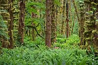 Columbian Black-tailed Deer (Odocoileus hemionus) doe in Olympic National Park temperate rain forest, WA.  June.