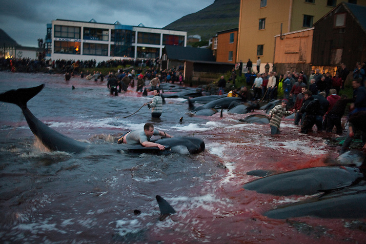 A young man wrestles with a pilot whale and tries to drive a hook into its back on July 18, 2010 in Klaksvík.  Once the hook is in, the people on the shore will use the rope tied to haul the whale into the shallows.