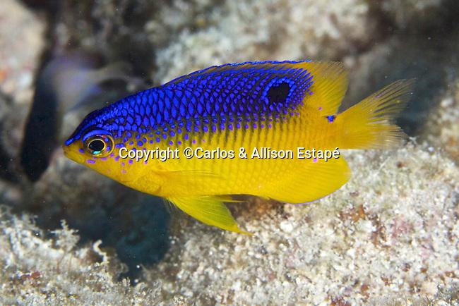 Stegastes xanthurus, Cocoa damselfish, juvenile, Florida Keys