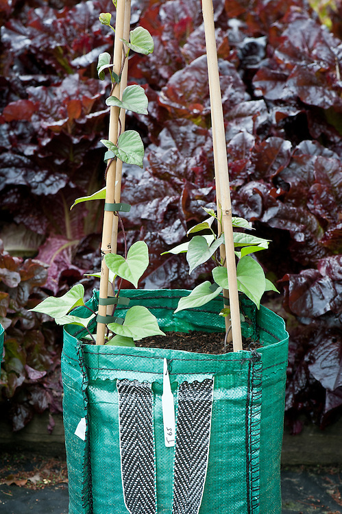 'T65' sweet potatoes being grown in a container at RHS Wisley, end June.