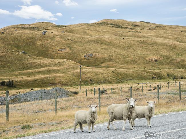 Three sheep crossing the road near the Treble Cone ski fields in New Zealand